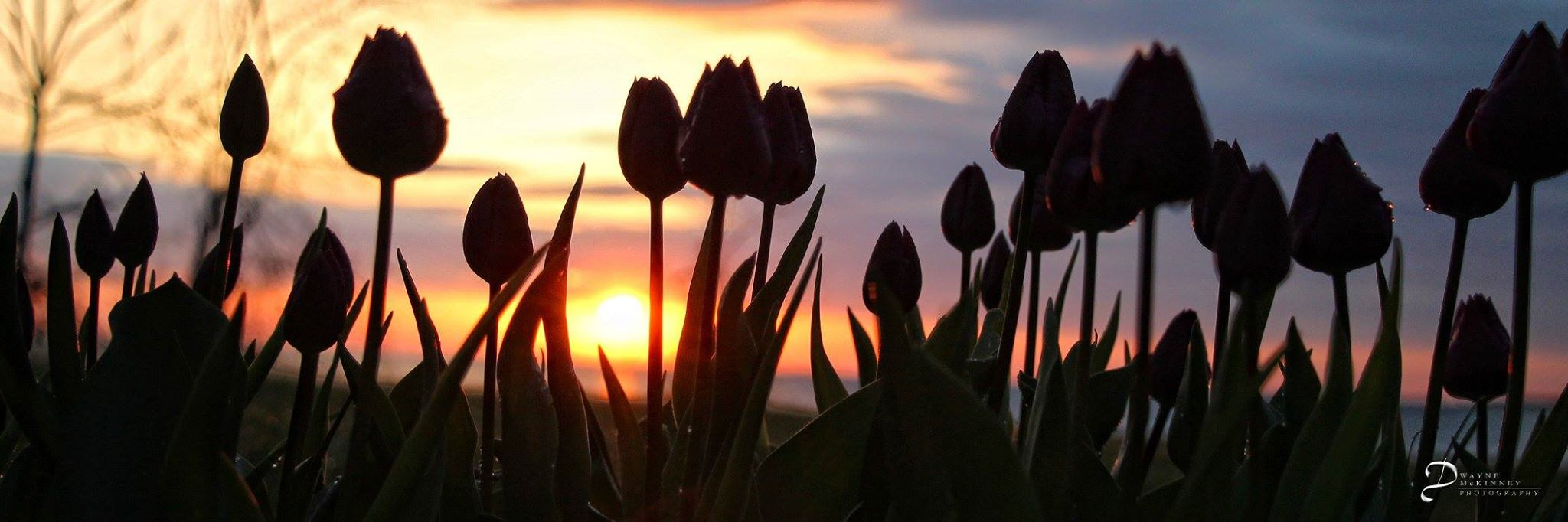 logo tulips.jpg